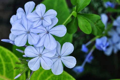 pics for gt light blue flowers names