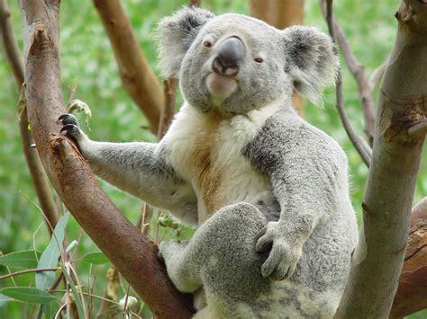 green koala wallpaper koala wallpaper 1920x1440 58660