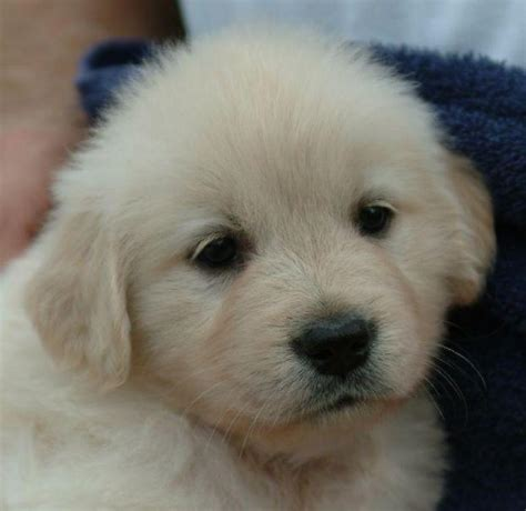 price of golden retriever puppy golden retriever puppies for sale rohit 1 9607 dogs