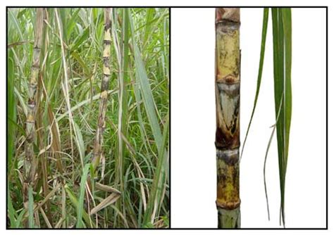 la tubo tubo saccharum offinarum sugar herbal