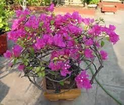 desain bunga hias membuat desain rambatan tanaman hias tanaman bunga hias
