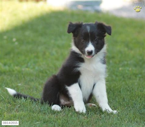 collie puppies for sale in pa border collie puppy for sale in pennsylvania projects to try border