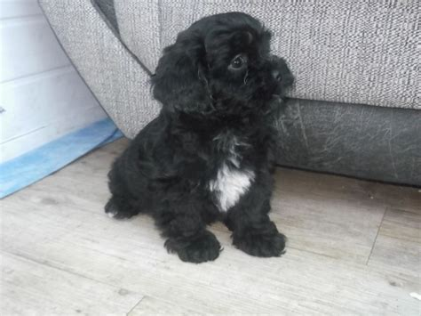 lhasapoo puppies lhasapoo puppies carlisle cumbria pets4homes