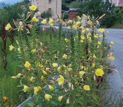 fiori di notte di notte segnalazione fiori e piante spontanee