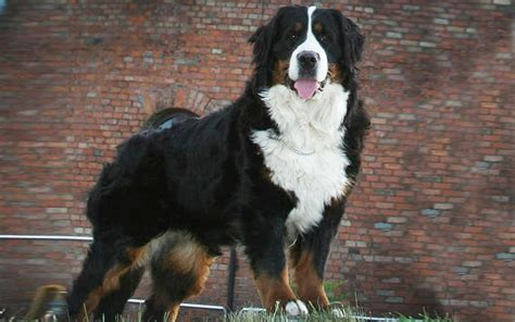 bernese mountain size bernese mountain puppies breed information puppies