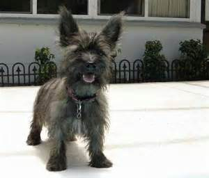 brindle cairn haircut cairn terriers page 2