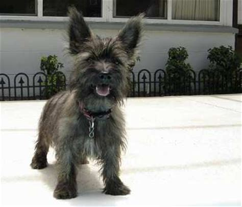brindle cairn haircut pictures of cairn terrier haircuts search results