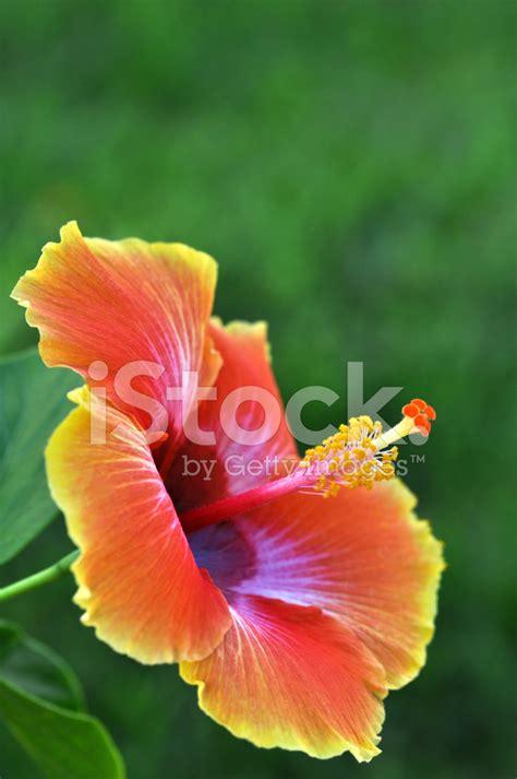 hawaiian yellow hibiscus orange yellow hibiscus orange yellow hibiscus flower hawaii stock photos