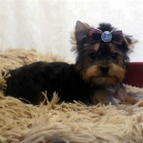 teddy yorkies for sale yorkies for sale terrier puppy teddy