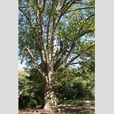 Eastern Redbud Leaves | 2336 x 3504 jpeg 6734kB