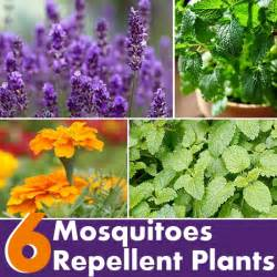 6 plants that repel mosquitoes diy home things