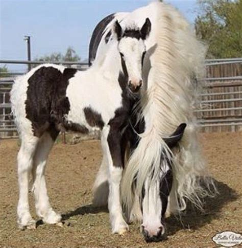 Outdoor Rooms Photos - black paint pinto overo splash sabino tobiano tovero gypsy vanner horse foal colt filly yearling