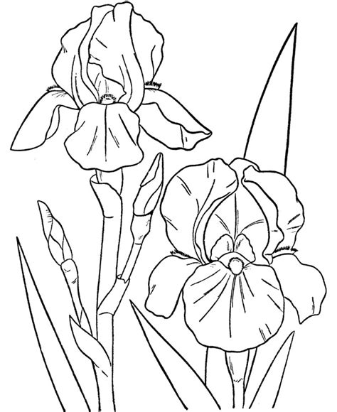 coloring pictures of iris flowers free coloring pages of iris flower