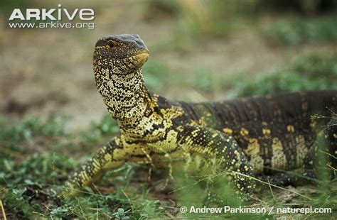 nile monitor photo varanus niloticus g33693 arkive