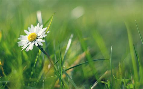 wallpaper grass flower daisies white daisies green grass wallpapers and images