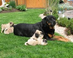 pug rottweiler best friend dogs on pugs pug puppies and rottweilers