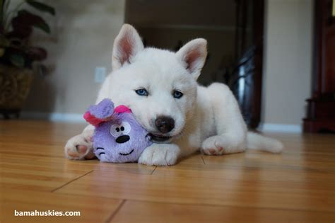white husky puppy white husky puppy for sale 171 siberian husky puppies for sale siberian husky puppies