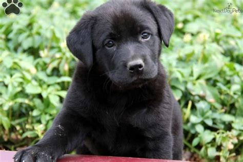 lab chow mix puppies for sale mixed other puppy for sale near lancaster pennsylvania 1a100a53 4f21
