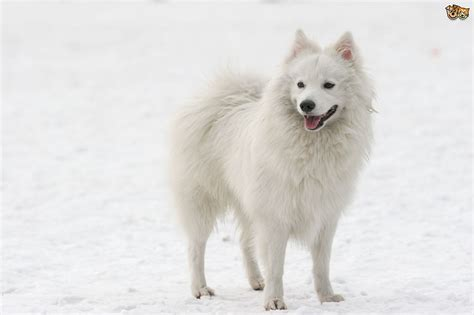 spitz breeds japanese spitz breed information buying advice photos and facts pets4homes