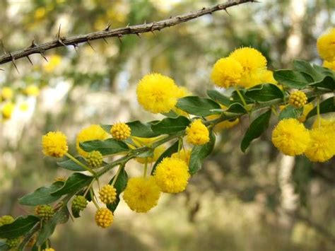 evergreen shrub with yellow flowers 314 best images about horticultural plants on