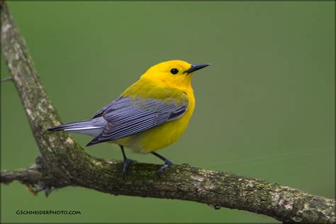 Prothonotary Search Prothonotary Warbler Perched On Mossy Branch