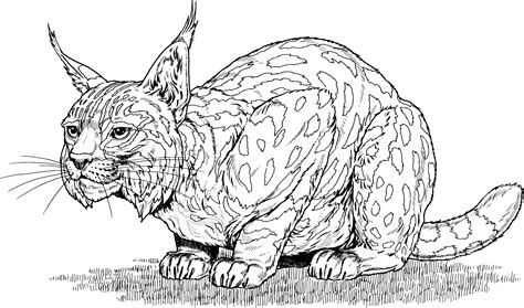 coloring page of on bobcat coloring pages to and print for free