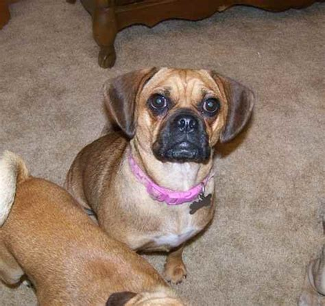 pugs cross beagle puggle beaglepug mix breeds picture