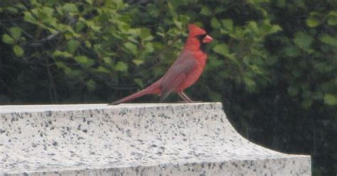 cardinal bird red washingtondc whateverrr pinterest