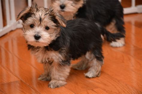 teacup yorkies for sale in pittsburgh pa yorkie puppies for great homes dogs for sale puppies for sale breeds picture