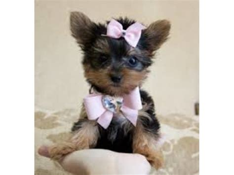 yorkie puppies for sale in columbus ga available t cup yorkie puppies now animals columbus announcement 25056