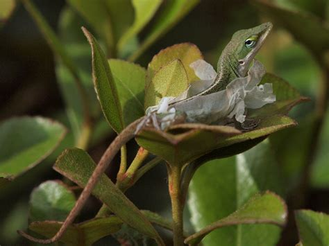 green anole lizard for sale images