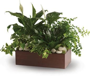 indoor plants nz order online indoor plants as gifts with online delivery