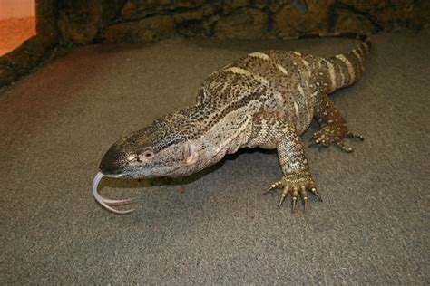 black throat monitor facts and pictures reptile fact