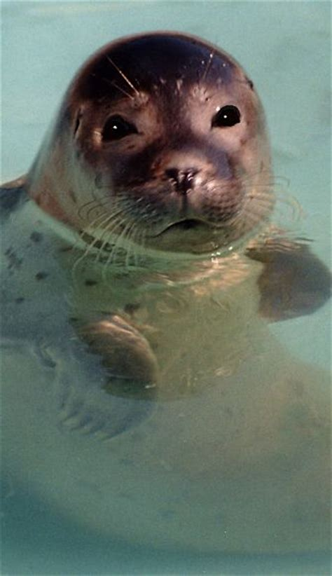 seal facts animal facts encyclopedia