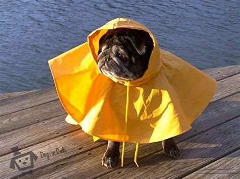 pug in a raincoat pet dogs cats fishes and small pets how to take care of dogs in rainy