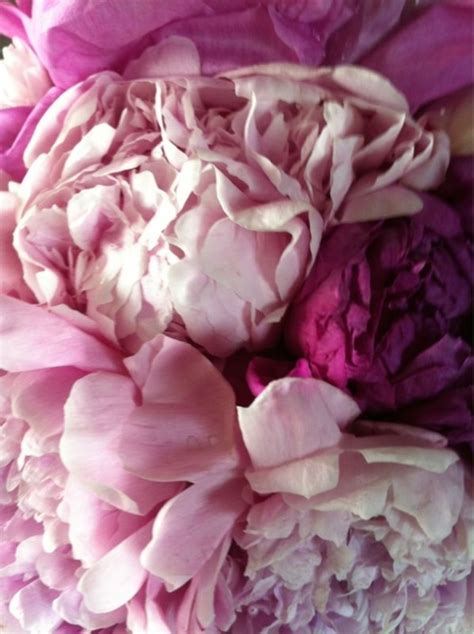 peonies season peony season revel in it mag