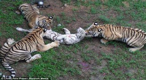 Harimau Lapar lapar harimau makan harimau choliknf