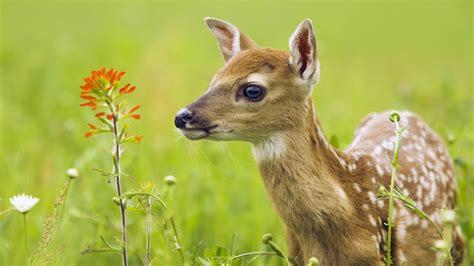 cute deer wallpaper wallpapers