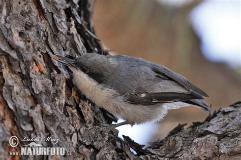 pygmy nuthatch pictures pygmy nuthatch images naturephoto