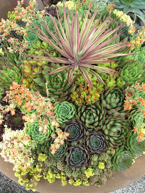 Succulent Container Gardens by Amazing Succulent Container Garden Arizona Plants
