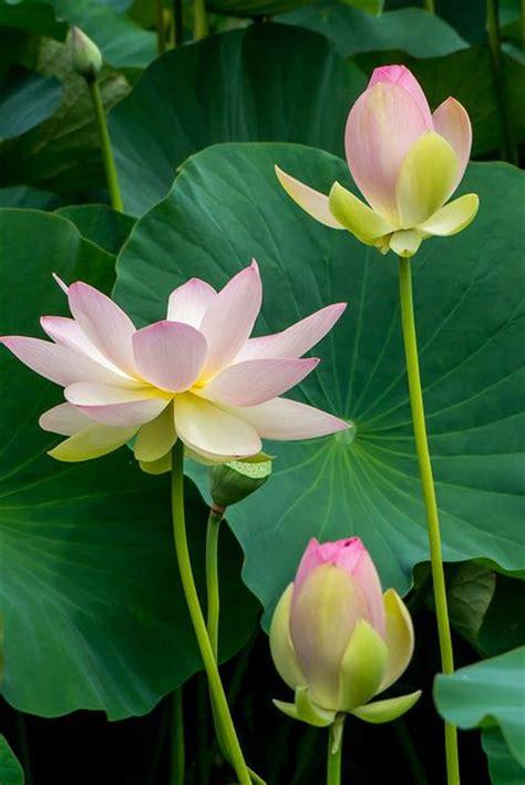 lotus flower in best 25 lotus flowers ideas on