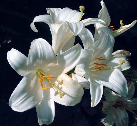 imagenes de lilis blancas arte y jardiner 205 a azucena lilium bulbos de temporada