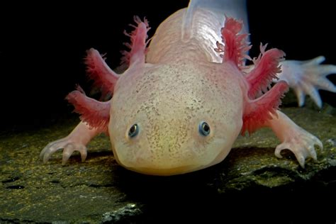 Safe Water For Pet Axolotls