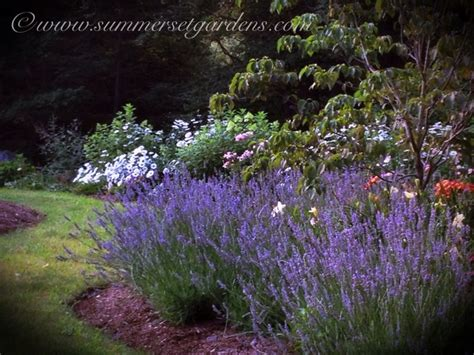 a lavender grouping traditional landscape new york