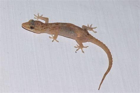 how to get rid of lizard in my room the 25 best home lizard ideas on gecko habitat store and lizard terrarium