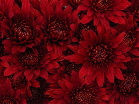 rock red spray pompoms chrysanthemum flowers by