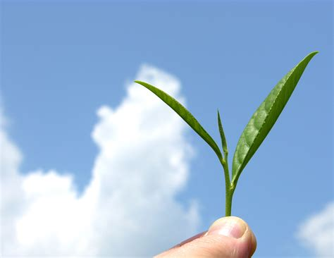 wallpaper daun teh file organic mountain grown tea leaf jpg wikipedia