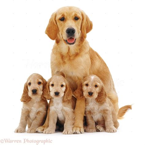 7 month golden retriever dogs golden retriever with spaniel pups photo wp09028