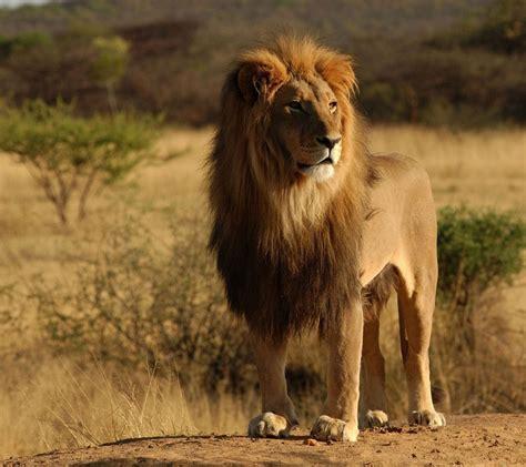 imagenes de leones full hd galer 237 a de im 225 genes fondos de pantalla de leones