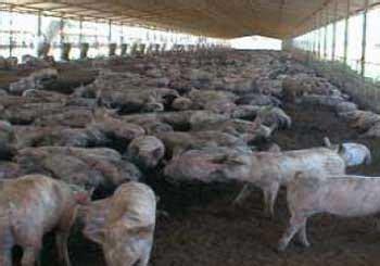 cochera de marranos producci 243 n de cerdos en cama profunda y los problemas de